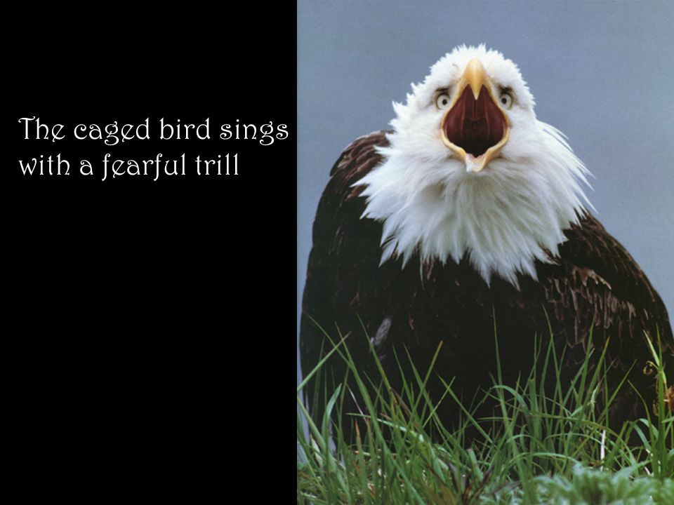 The caged bird sings with a fearful trill