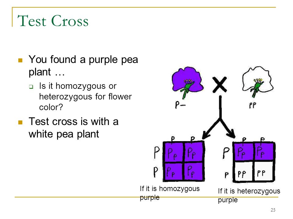 Test Cross You found a purple pea plant …