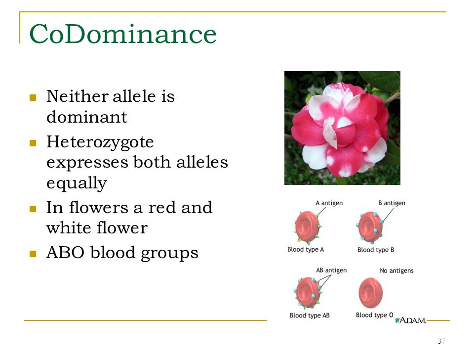 CoDominance Neither allele is dominant