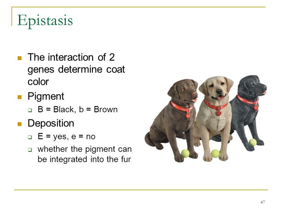 Epistasis The interaction of 2 genes determine coat color Pigment