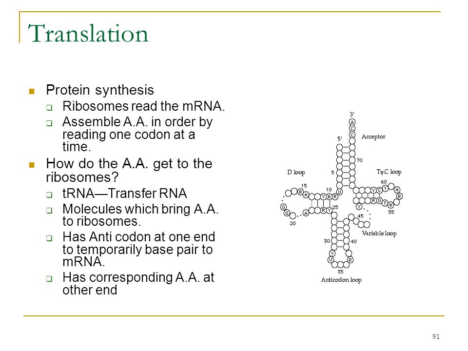 Translation Protein synthesis How do the A.A. get to the ribosomes