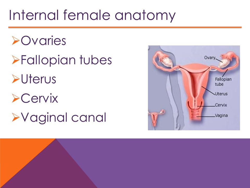 Internal female anatomy