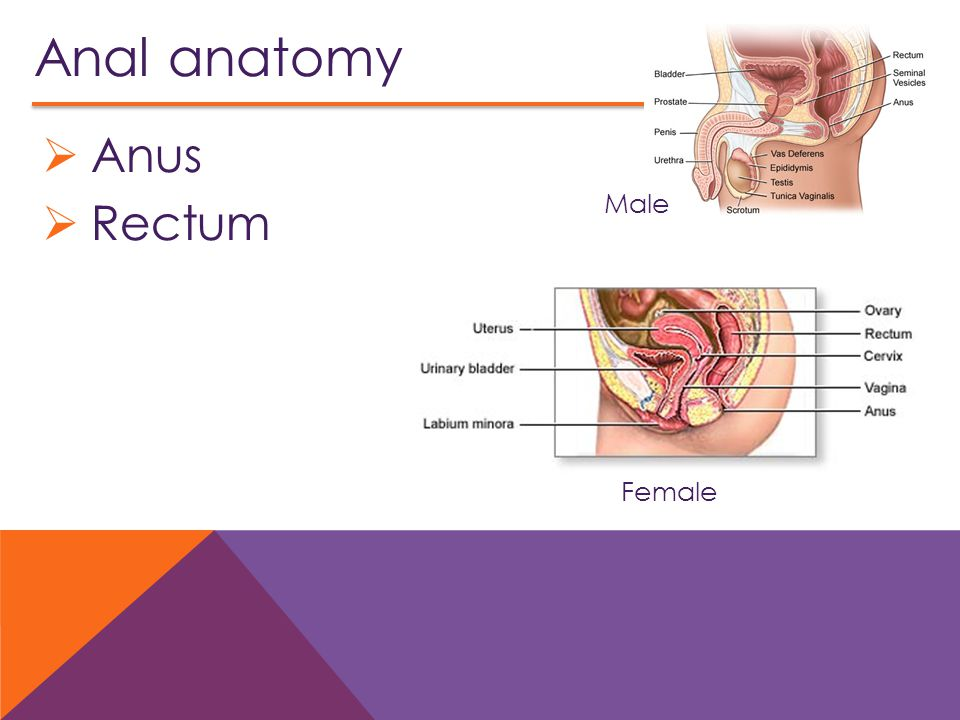 Beautiful Female Anus Anatomy Component - Anatomy And Physiology ...