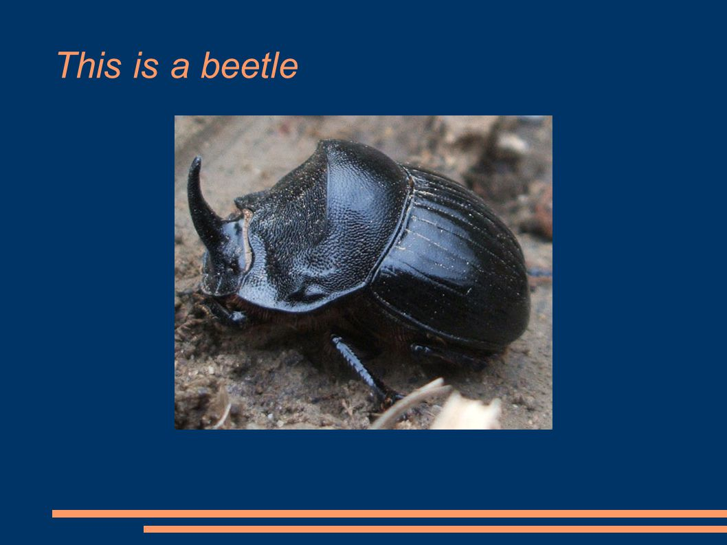 This is a beetle