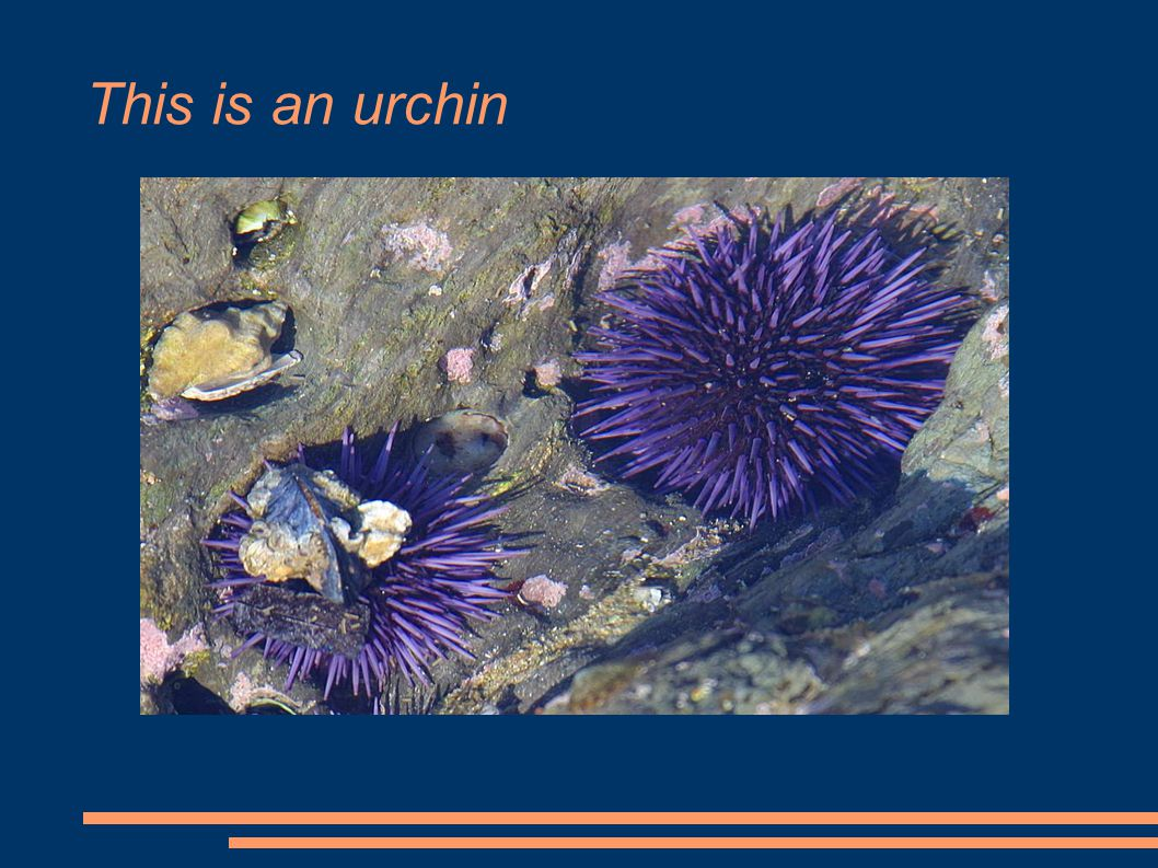 This is an urchin