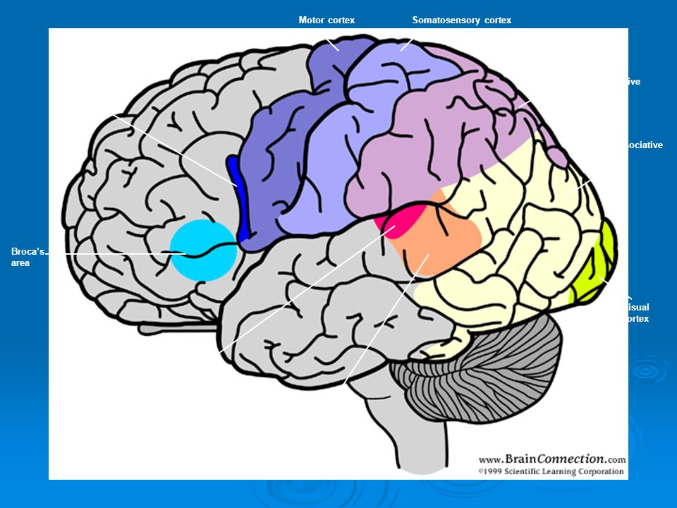 Motor cortex Somatosensory cortex. Pars. opercularis. Sensory associative. cortex. Visual associative.