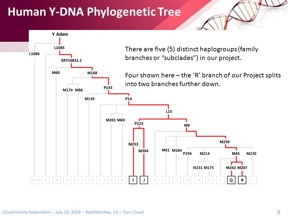 Human Y-DNA Phylogenetic Tree
