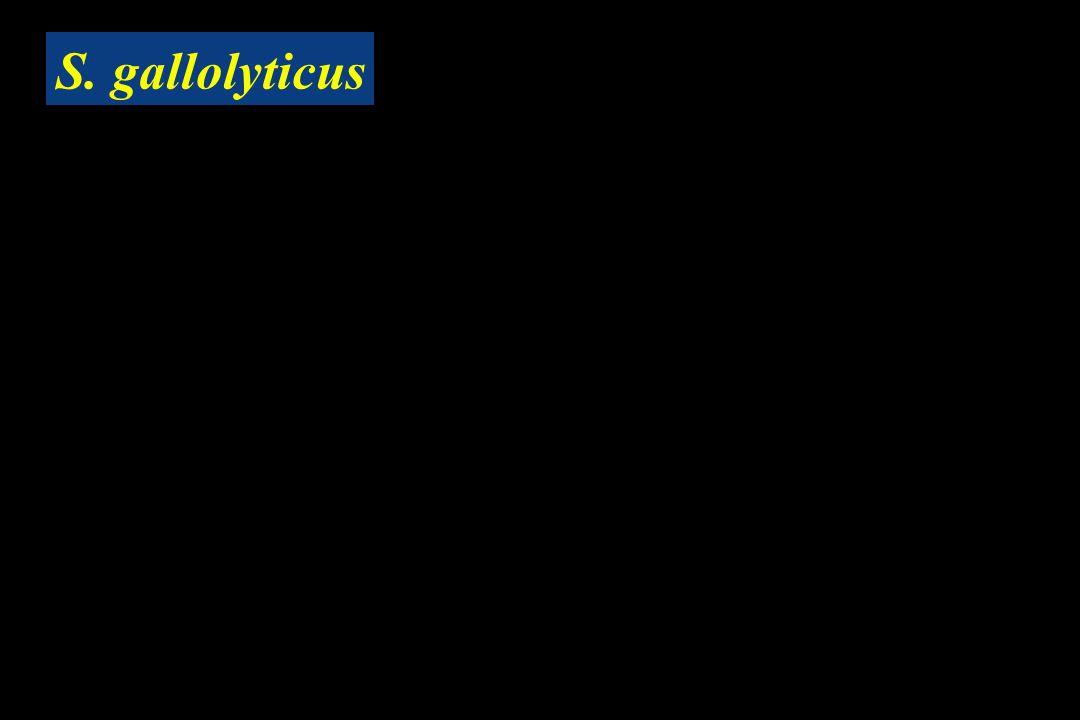 S. gallolyticus