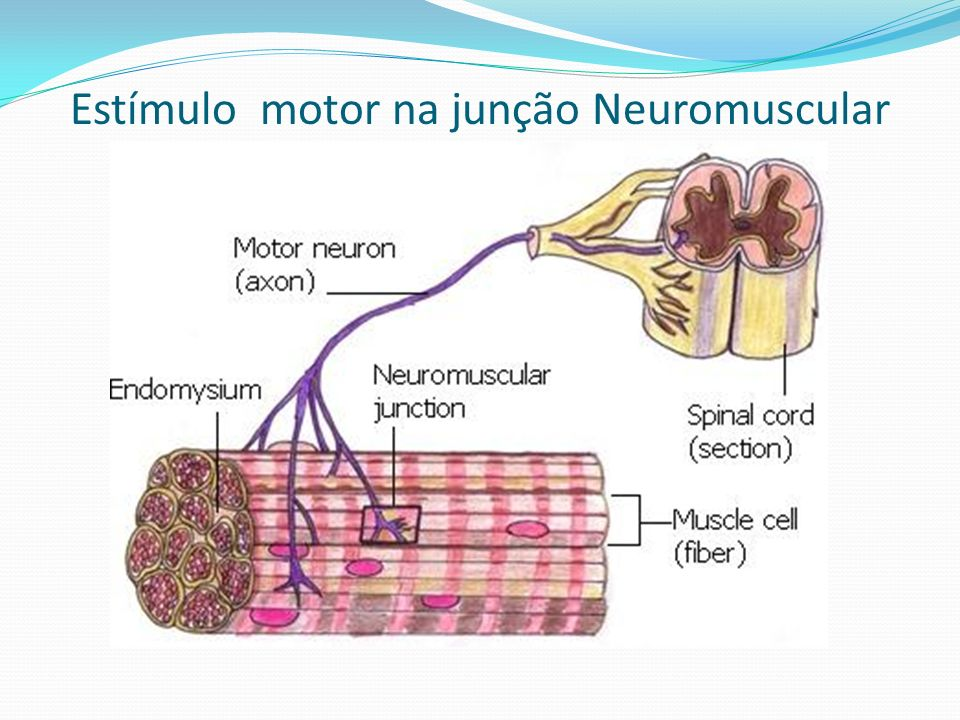 Estímulo motor na junção Neuromuscular