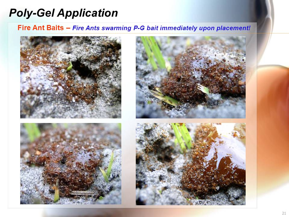 Poly-Gel Application Fire Ant Baits – Fire Ants swarming P-G bait immediately upon placement!