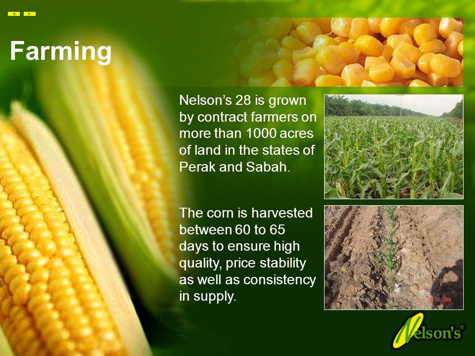 Farming Nelson's 28 is grown by contract farmers on more than 1000 acres of land in the states of Perak and Sabah.