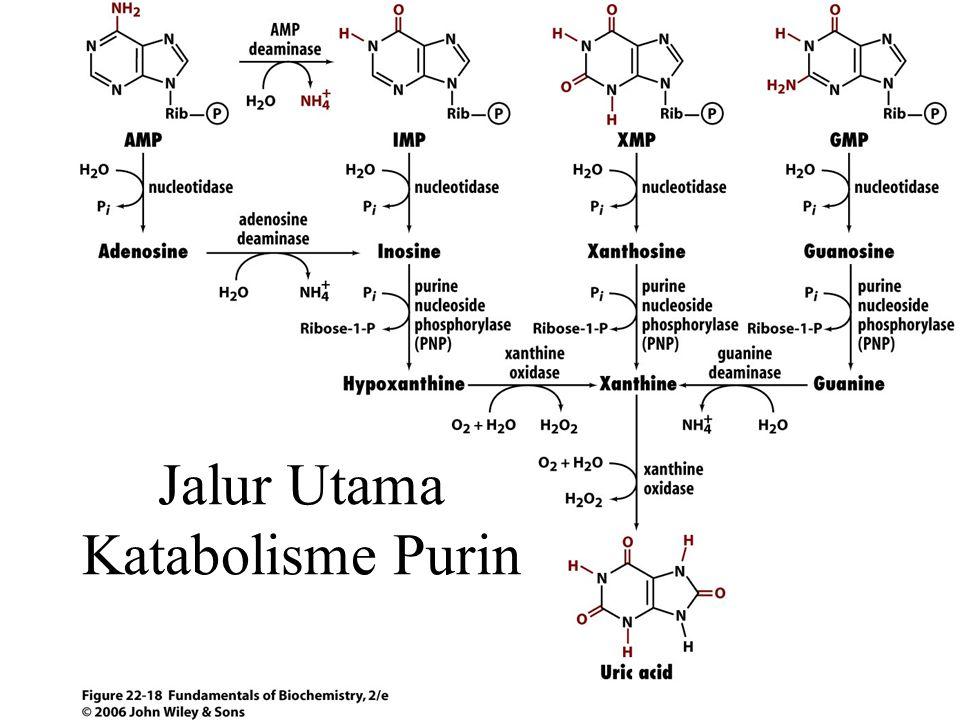 Jalur Utama Katabolisme Purin