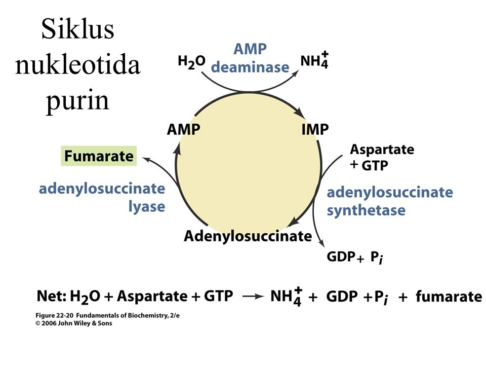 Siklus nukleotida purin