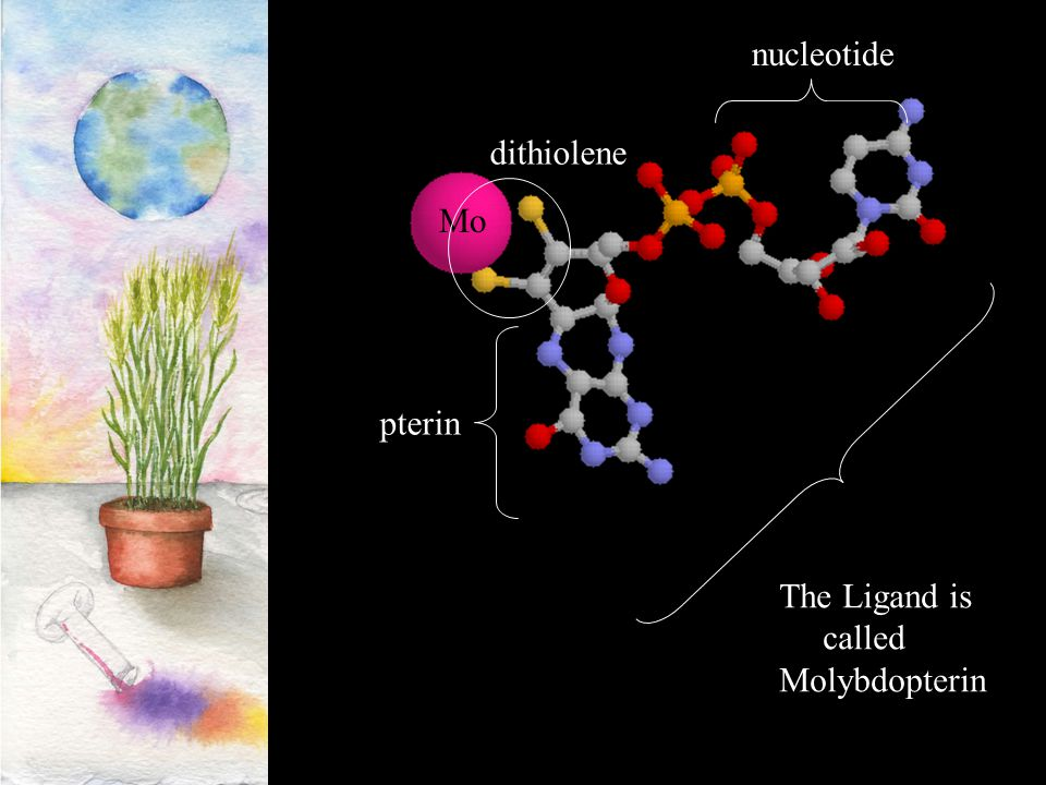 nucleotide dithiolene Mo pterin The Ligand is called Molybdopterin