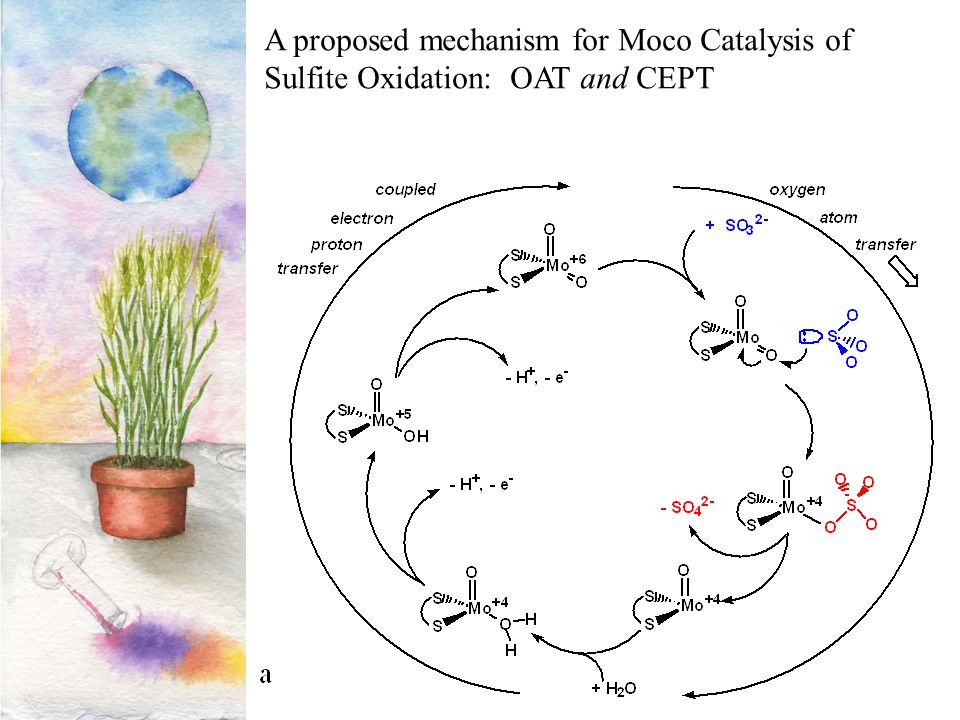 A proposed mechanism for Moco Catalysis of