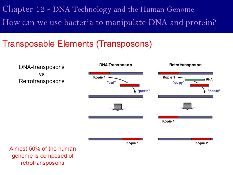Almost 50% of the human genome is composed of retrotransposons