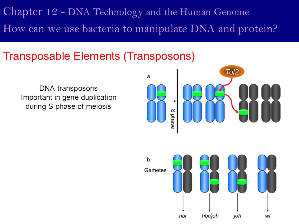 Important in gene duplication during S phase of meiosis