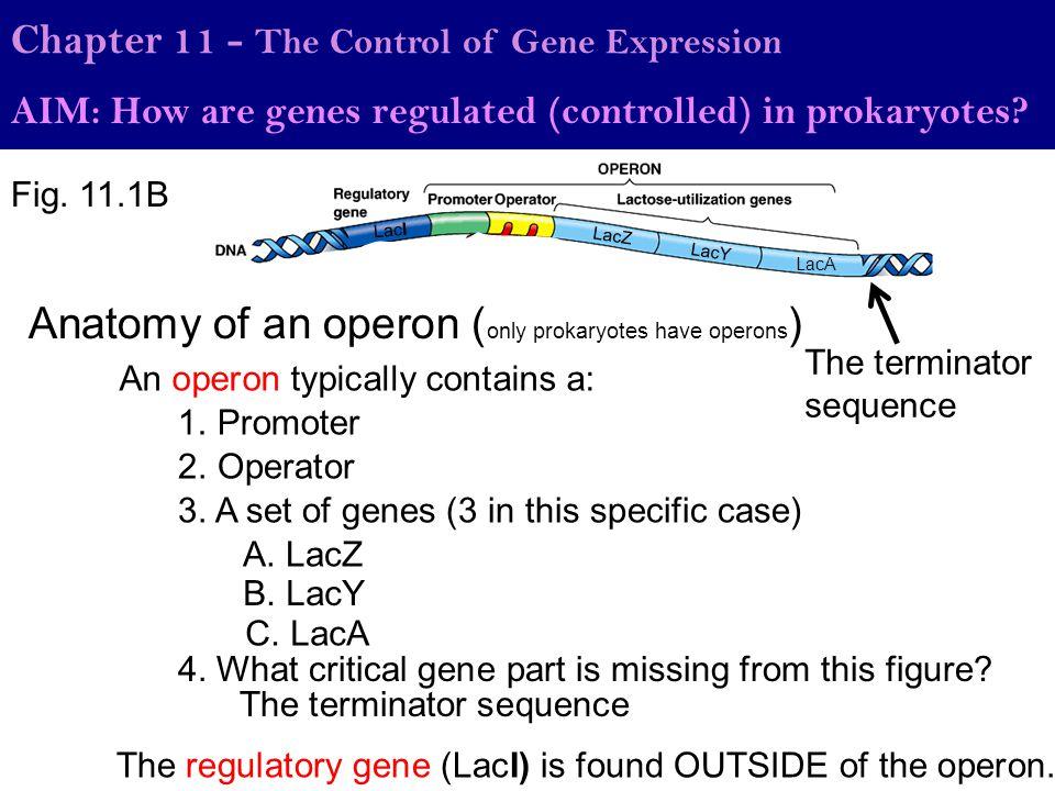 Anatomy of an operon (only prokaryotes have operons)