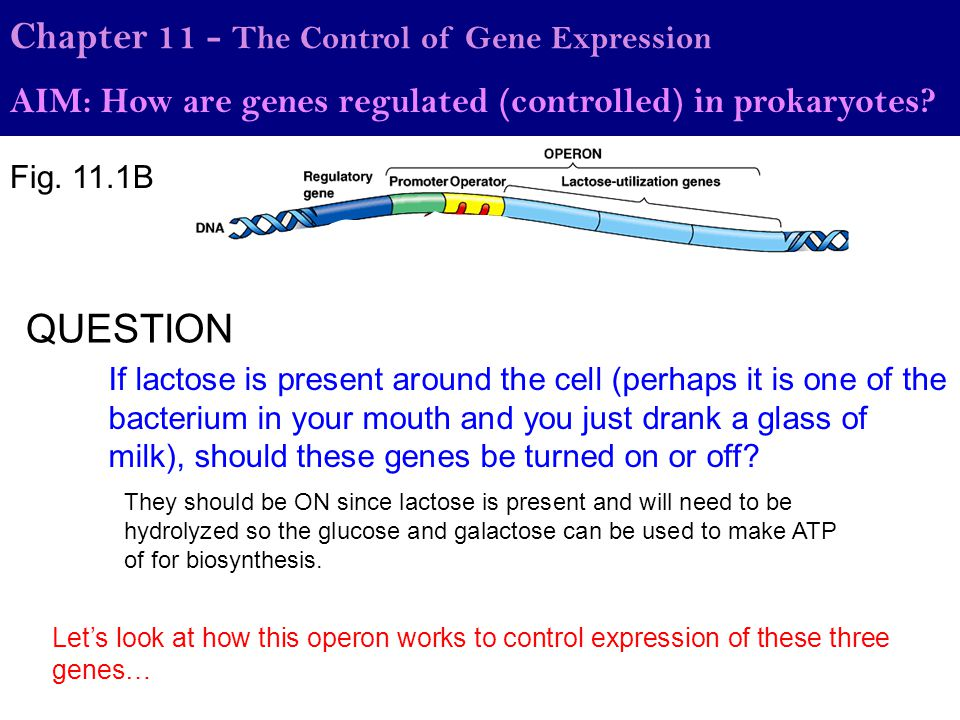 QUESTION Chapter 11 - The Control of Gene Expression