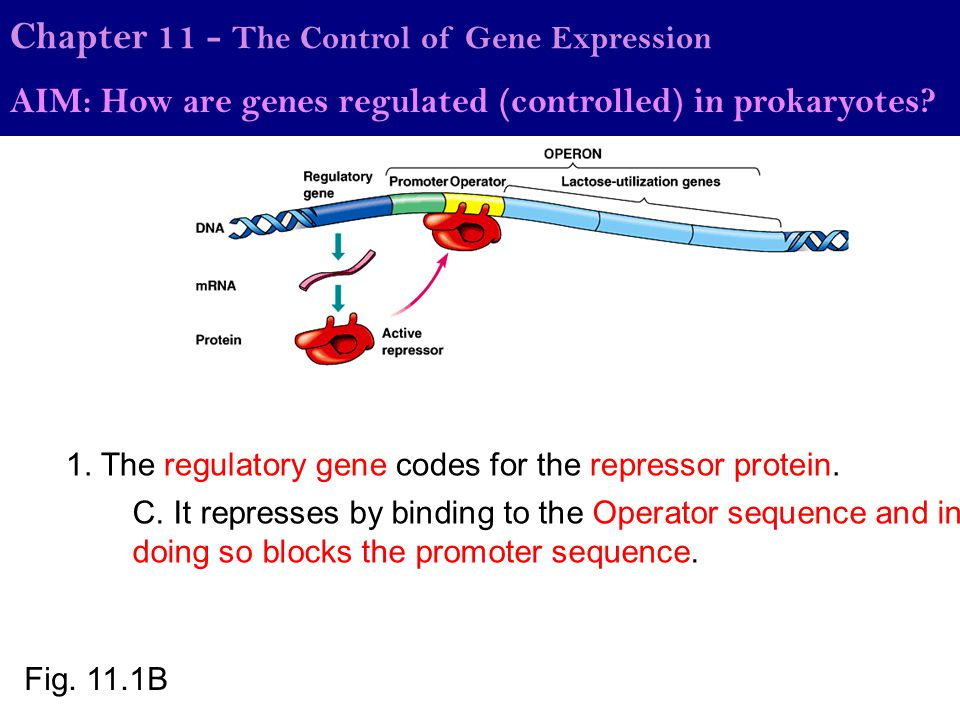 Chapter 11 - The Control of Gene Expression