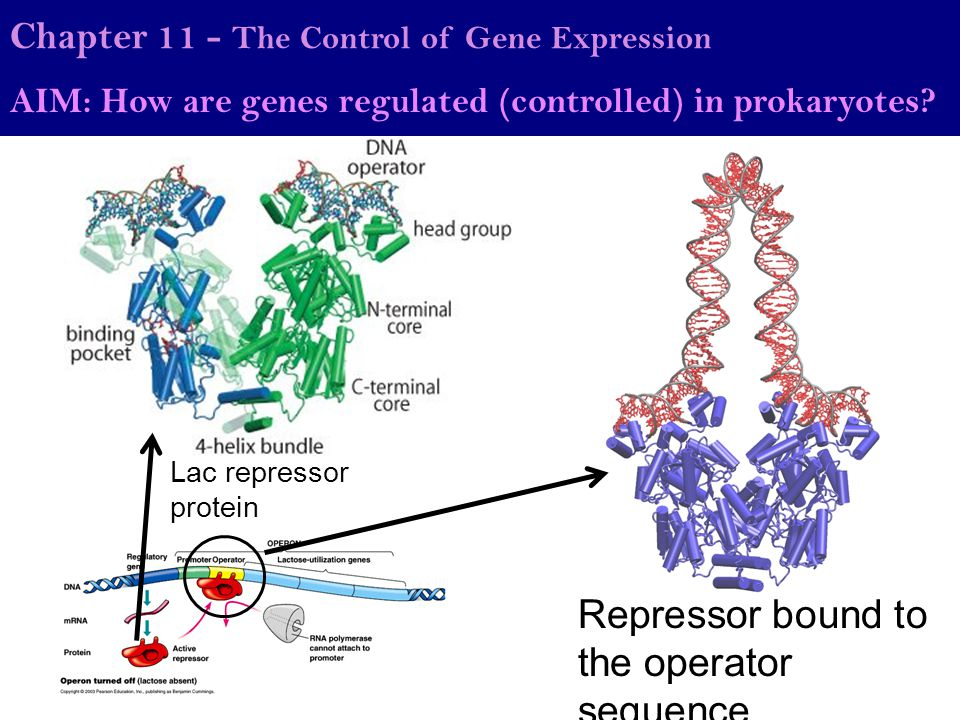 Repressor bound to the operator sequence