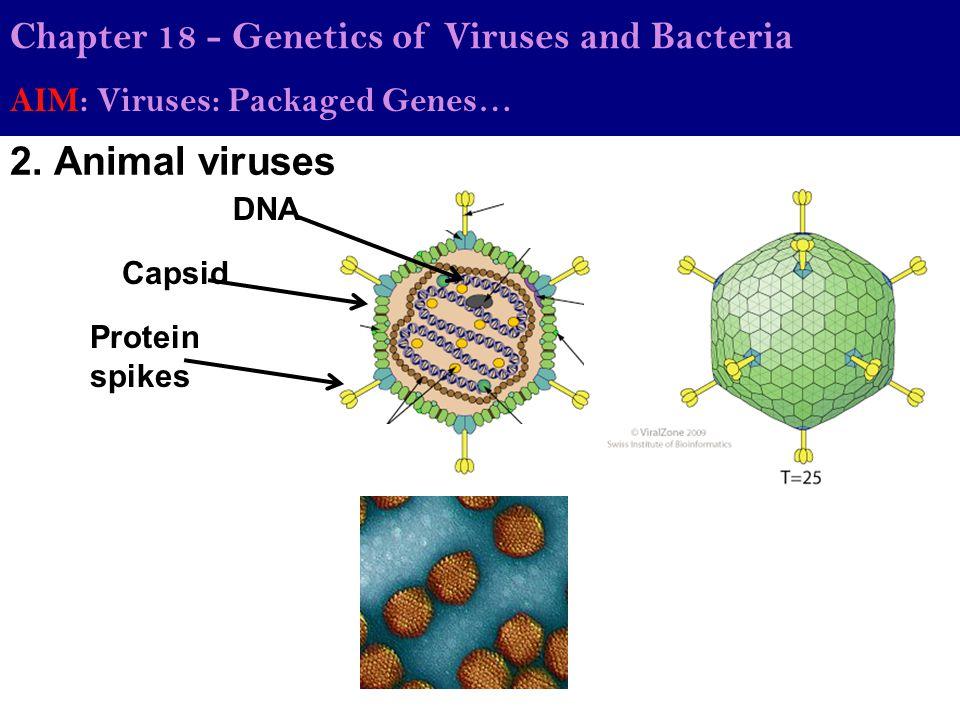 2. Animal viruses Chapter 18 - Genetics of Viruses and Bacteria