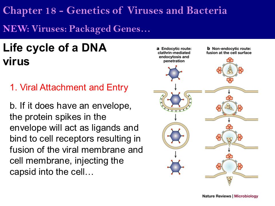 Life cycle of a DNA virus