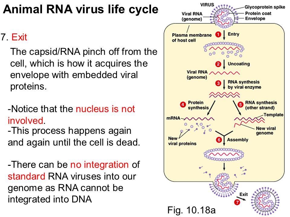 Animal RNA virus life cycle