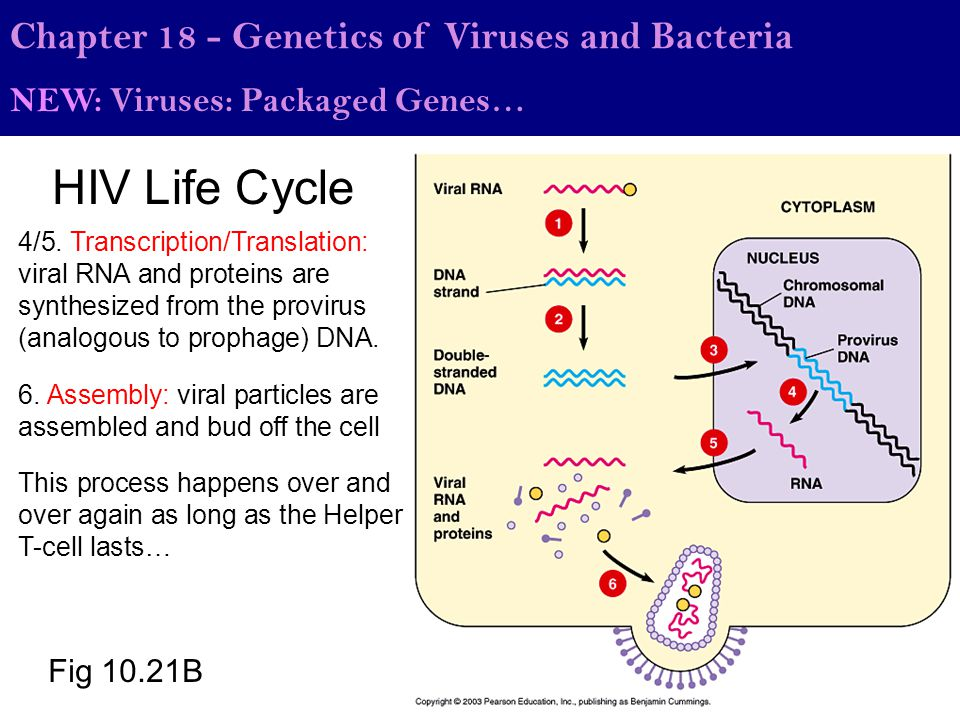 HIV Life Cycle Chapter 18 - Genetics of Viruses and Bacteria