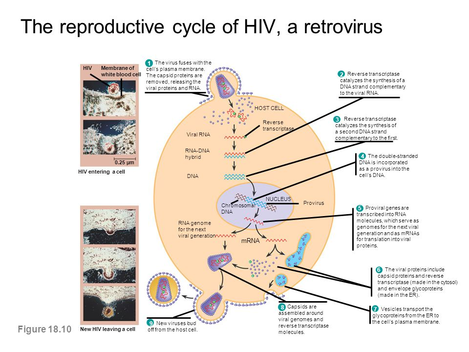 The reproductive cycle of HIV, a retrovirus