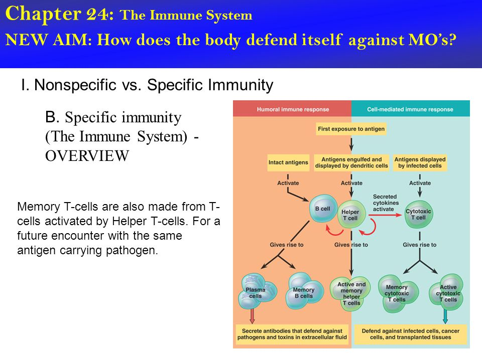 Chapter 24: The Immune System