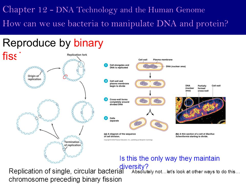 Reproduce by binary fission