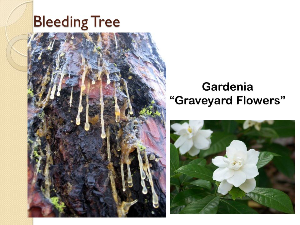 Bleeding Tree Gardenia Graveyard Flowers
