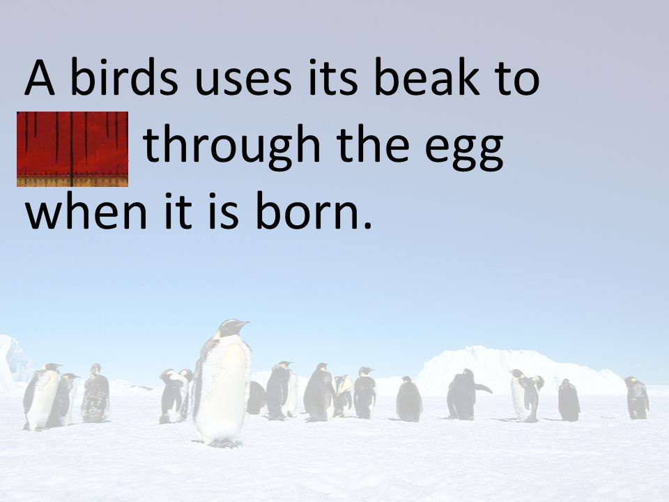 A birds uses its beak to peck through the egg when it is born.