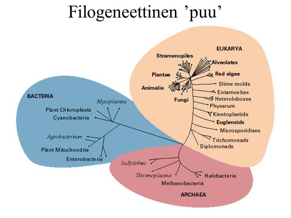 Filogeneettinen 'puu'