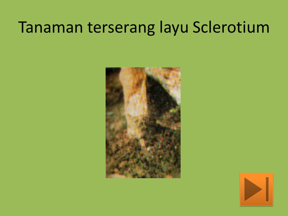 Tanaman terserang layu Sclerotium