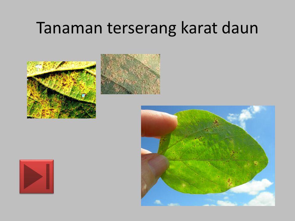 Tanaman terserang karat daun