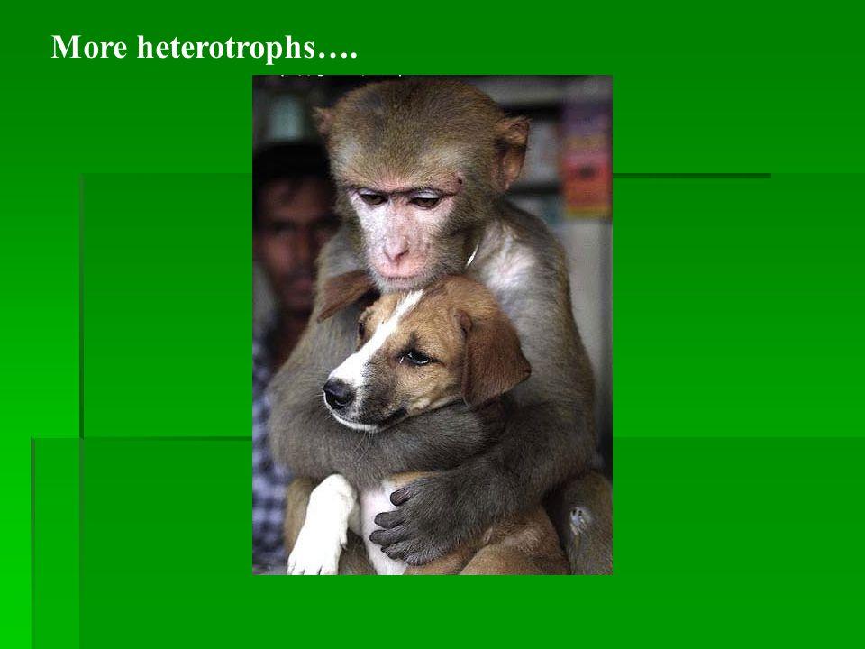 More heterotrophs….