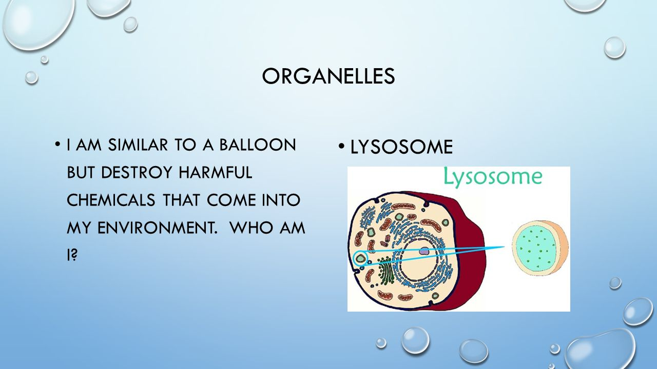 organelles I am similar to a balloon but destroy harmful chemicals that come into my environment. Who am i