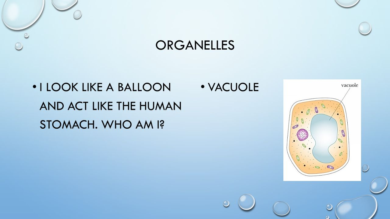 organelles I look like a balloon and act like the human stomach. Who am i Vacuole