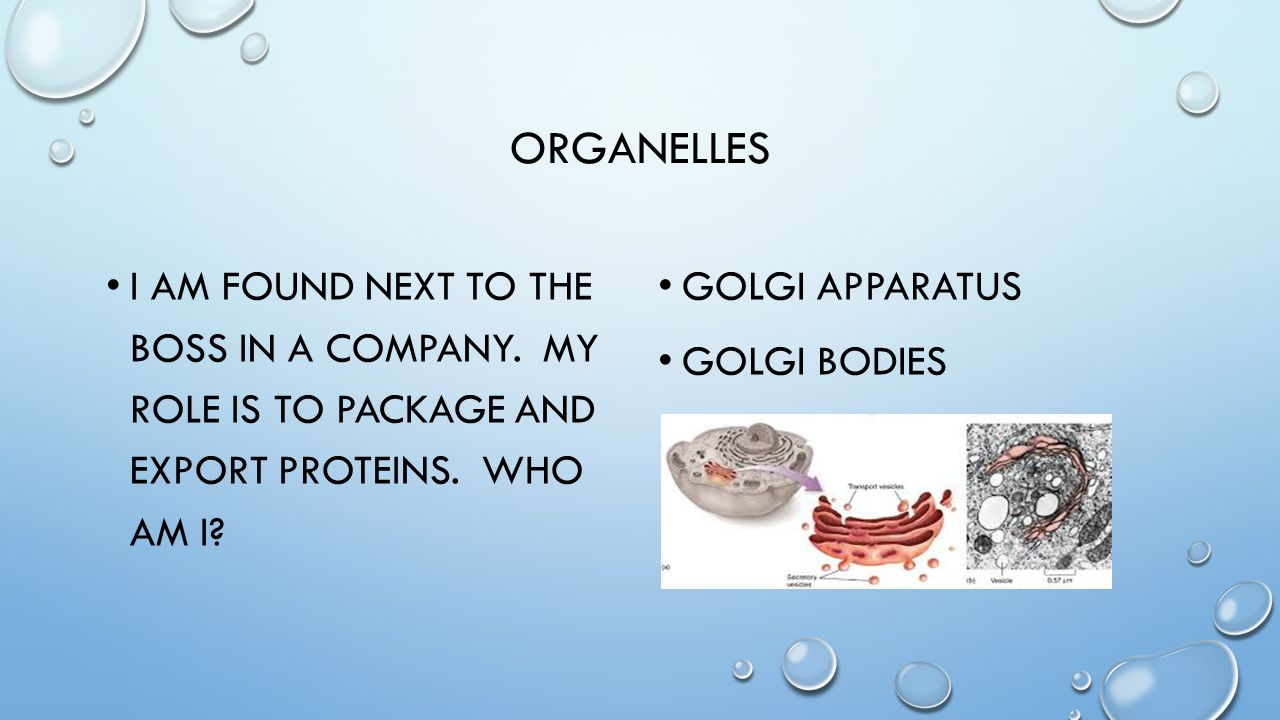 organelles I am found next to the boss in a company. My role is to package and export proteins. Who am i