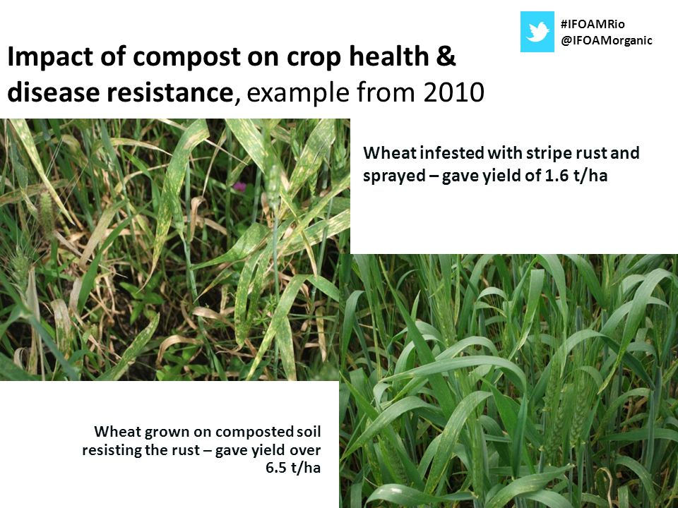 Wheat infested with stripe rust and sprayed – gave yield of 1.6 t/ha