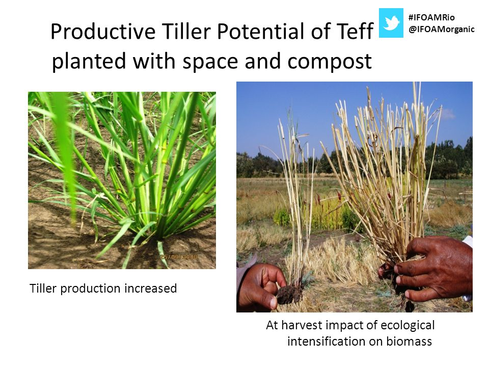 Productive Tiller Potential of Teff planted with space and compost