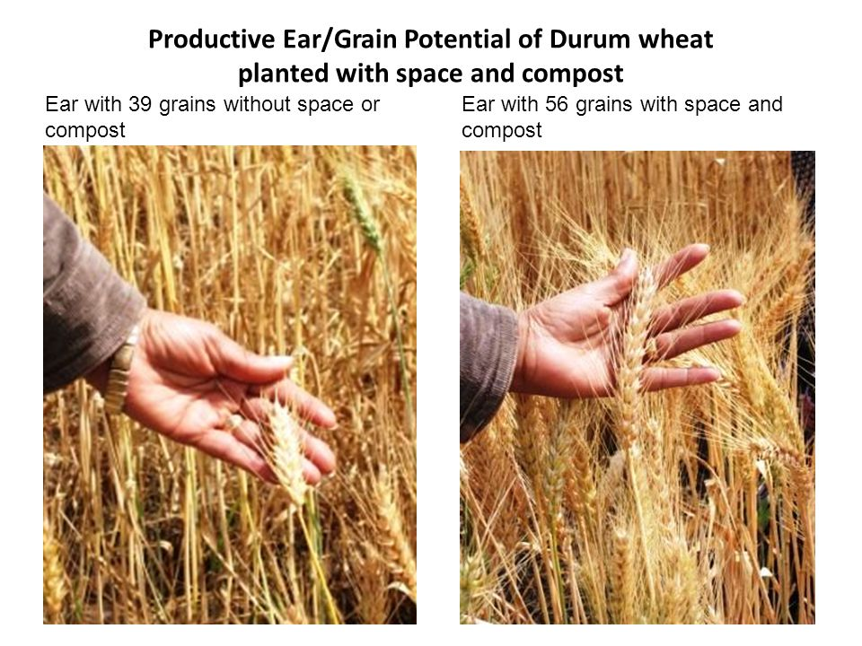 Productive Ear/Grain Potential of Durum wheat planted with space and compost