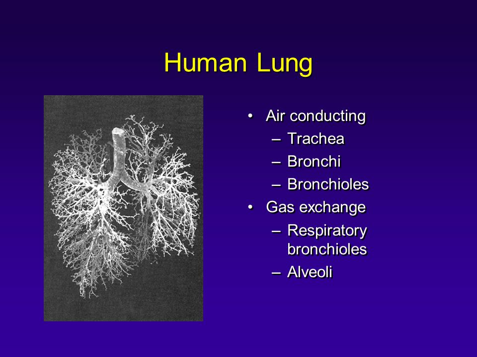Human Lung Air conducting Trachea Bronchi Bronchioles Gas exchange