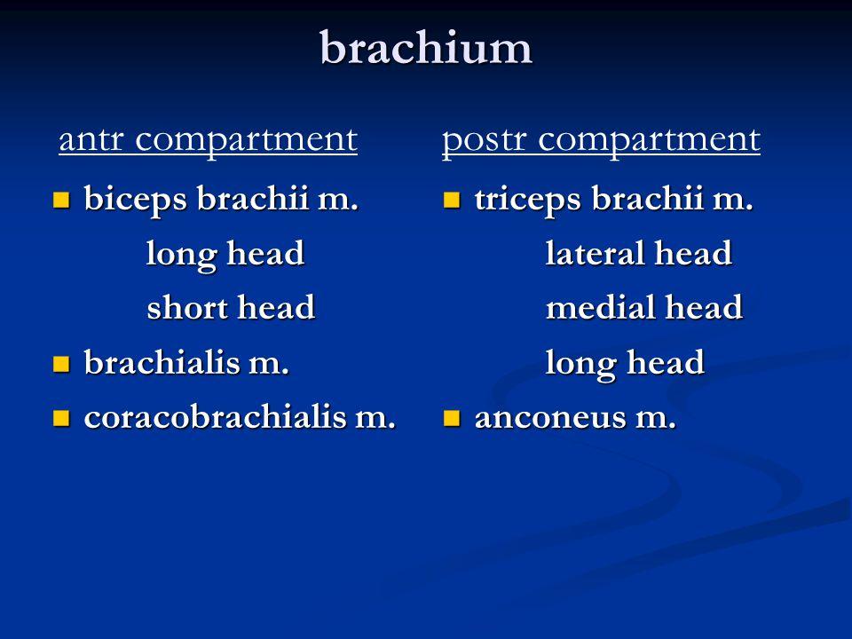 brachium antr compartment postr compartment biceps brachii m.