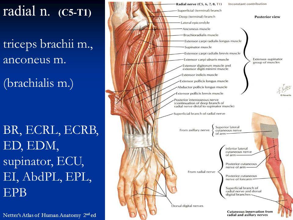 radial n. (C5-T1) triceps brachii m., anconeus m. (brachialis m.)