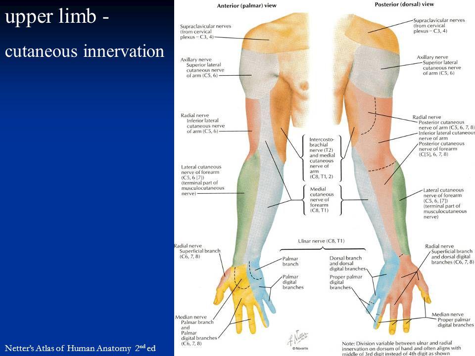 upper limb - cutaneous innervation