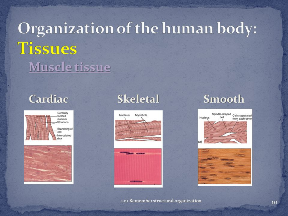 Organization of the human body: Tissues
