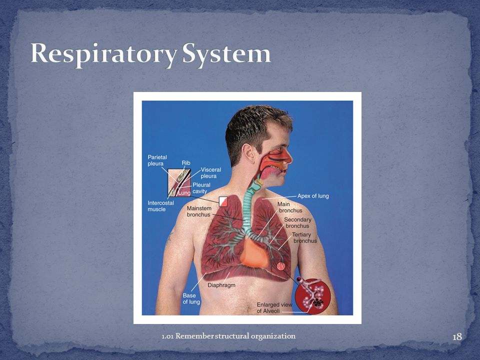 Respiratory System 1.01 Remember structural organization